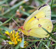 Clouded Sulphur (Colias Philodice) Drinking Flower Nectar. Rouge National Urban Park, Ontario, Canada.