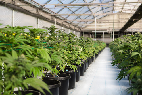 Cannabis plants in a greenhouse Wallpaper Mural