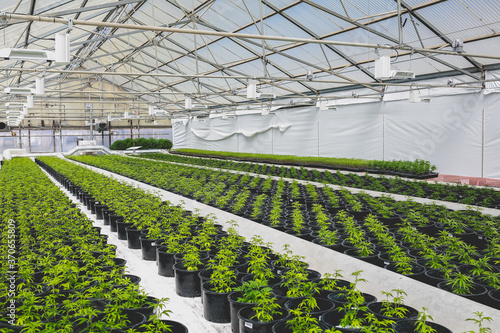Photo Cannabis plants in a greenhouse