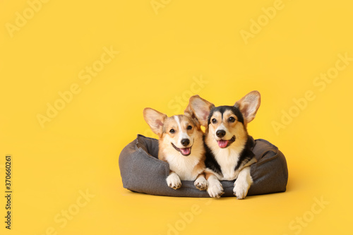Cute corgi dogs with pet bed on color background Fototapete