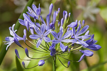 Agapanthus Or African Lily Flower Close Up
