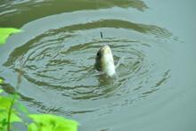 Animal, Fish, Freshwater Fish...