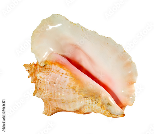 Fotografia, Obraz Sea shell isolated on a white background. Beautiful seashell