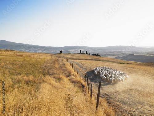 landscape field sheep