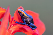 The Dyeing Dart Frog, Tinc (a ...