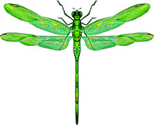 Green Dragonfly With Delicate Wings Vector Illustration