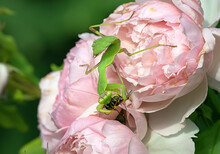 Large Insect - Mantis  Sits On A Rose Flower And Eats A Bee