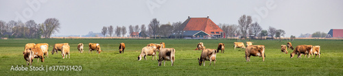 Fototapeta Group of jersey cows grazing in the pasture, peaceful and sunny in Dutch Friesia