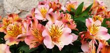 Orange And Pink Flowers Alstro...