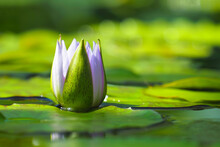 Bud Of Blue Star Water Lily In Pond. Nymphaea Nouchali Or Nymphaea Stellata, Caerulea, Blue Star Lotus, Red And Blue Water Lily