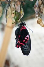 Butterfly With Black And Red Wings. Butterfly Emerges From The Cocoon