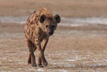 Spotted Hyena In The Wild (Crocuta Crotuta)