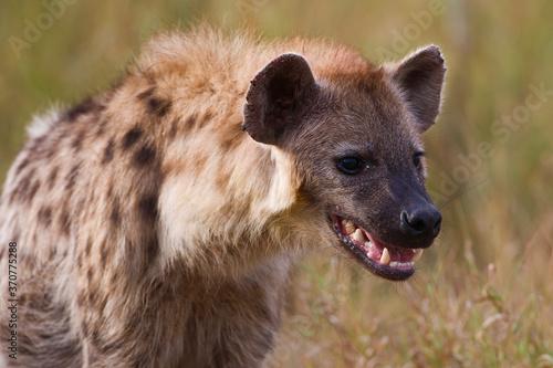 Spotted Hyena in the wild (Crocuta crotuta) Fototapet