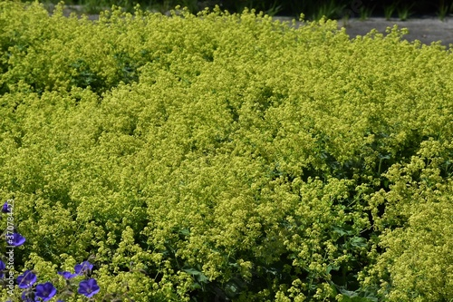 Ornamental plant of Alchemilla Glaucescens, Alchemilla mollis, or lady's-mantle, in the garden Canvas-taulu