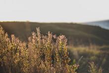 Wild Plants At Sunset