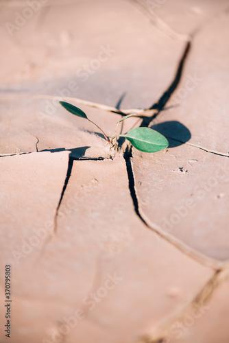Cuadros en Lienzo Fresh sprout in arid soil land