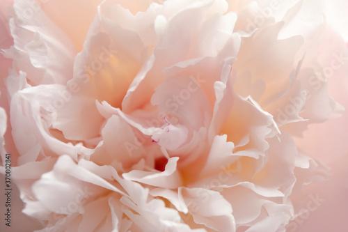 Closeup view of beautiful light peony flower Fototapet