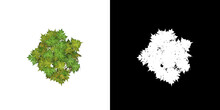 Top View Of Tree (Carica Papaya) Png With Alpha Channel To Cutout 3D Rendering. For Forest And Nature Compositing.