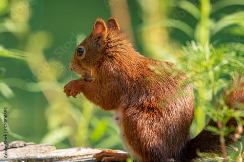 Leinwand Poster Eichhörnchen