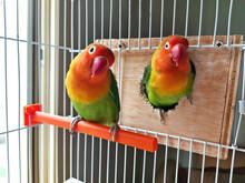 Fischer Lovebird Couple In Cage