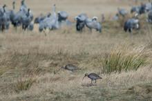 Eurasian Curlews Numenius Arqu...
