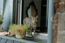 Gray European Shorthair Cat Walking On Windowsill Near Potted Plants And Meowing During Sunny Summer Day