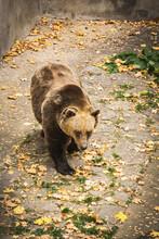 Brown Bear In Captivity