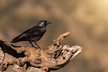 Wild Jackdaw Bird Perched On A Wooden Trunk With A Warm Luminous Background