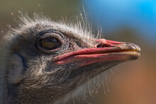 Closeup Of Head Of Cute Wild Common Ostrich Bird With Red Beak Standing Against Blurred Green Background In Nature