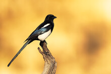 Wild Magpie Perched On A Branc...