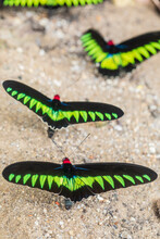 Closeup Of Rajah Brooke Birdwing Or Trogonoptera Brookiana Male Butterflies With Bright Black And Green Wings On Sandy Ground