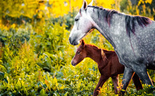 White Horse With Foal Walking ...