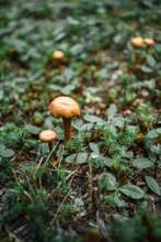 Single Growing Amanita Mushroom With Vivid Orange Cap In White Dots Among Greenery In New Brunswick