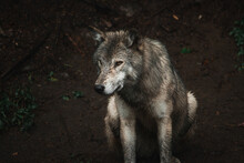High Angle Of Wolf With Dirty Fur Standing On Wet Ground In Forest