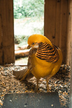 Graceful Male Golden Pheasant With Vivid Yellow Plumage Standing In Wooden Cage