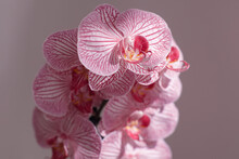 Closeup Of Delicate Petals Of Phalaenopsis With Pink Lines Placed In Studio Under Sunlight On Purple Background