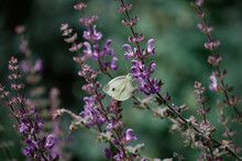 White Moth Perching On Blooming Lavender