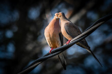 A Pair Of Mourning Doves Arr Kissing Each Other