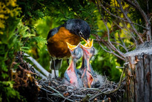 An American Robin Parent Feedi...