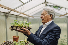 Senior Businessman Holding Plants In A Seed Tray In Greenhouse