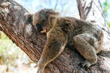 Close-up Of Koala Sleeping On Tree Trunk At Magnetic Island, Queensland, Australia