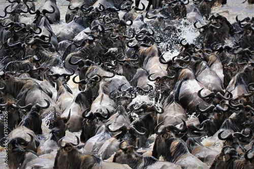 Fototapeta Wildebeest migration