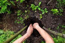 Hands Of Man Digging Dirt Amid...
