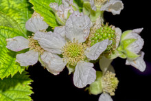 Flower And Fruit Of The Thornless Blackberry Rubus Ulmifolius