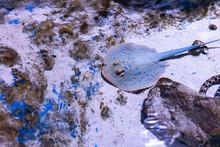 Underwater View Of Blue Spotte...
