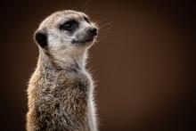 Meerkat Portrait Looking Over Shoulder