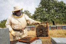 Rural And Natural Beekeeper, Working To Collect Honey From Hives With Honey Bees. Beekeeping Concept, Self-consumption,