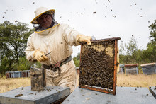Beekeeper Holding Frame With H...