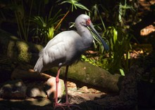 This Image Shows A Full Body, Side View Of A White African Spoonbill (Platalea Alba) Bird Standing In A Lush Jungle Landscape.