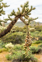 Chain Fruit Cholla With Long F...